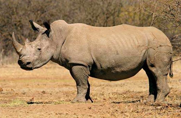 Fundação desenvolve criptomoeda para preservar rinocerontes