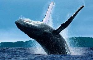 """Pesquisa aponta que as """"baleias"""" estabilizam o mercado"""