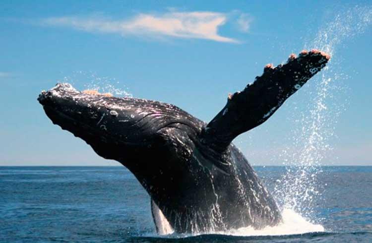 Número de baleias de Bitcoin atinge maior nível desde setembro de 2017