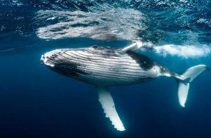Baleias estão acumulando altcoins com a queda do BTC, aponta relatório