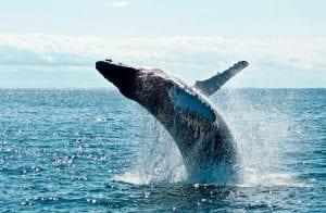 Corra antes que acabe: baleias estão acumulando mais Bitcoin